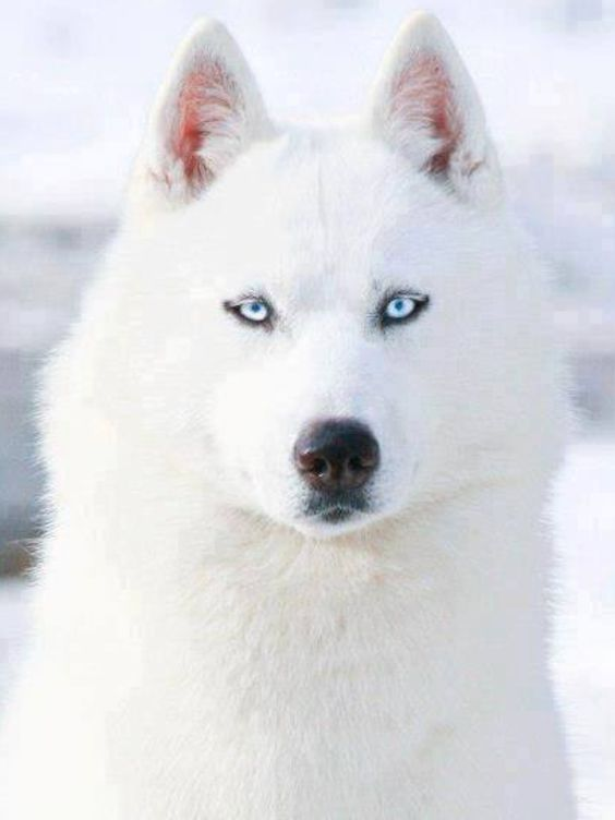 White Siberian Husky with Blue Eyes | DOGS AND PUPPIES ...