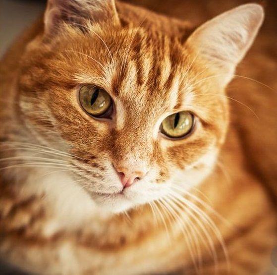 80 Male Orange Tabby Cat Names Orange Tabby Cats Tabby Cat Names Orange Cats