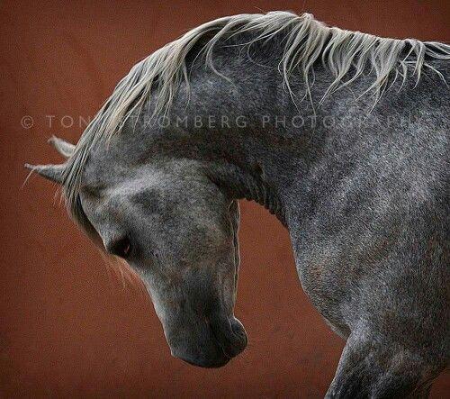 Beautiful Arabian in Morocco.