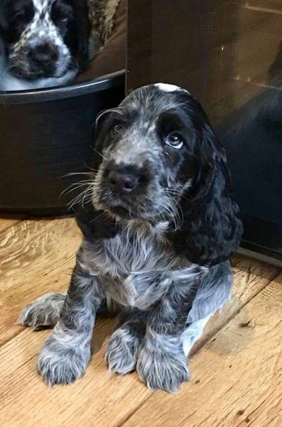 Determine Additional Info On Cocker Spaniels Have A Look At Our Web Site Spaniel Puppies Cocker Spaniel Puppies Blue Roan Cocker Spaniel