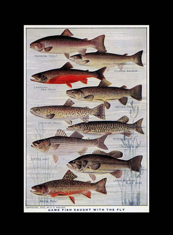 Game Fish Fresh Water Chart Edwardian Era 1912 Vintage