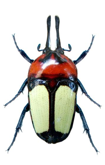 Dicheros bicornis malayanus
