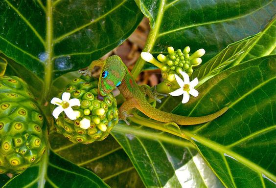 Gecko licking nectar from a young noni fruit in Kailua, Hawaii