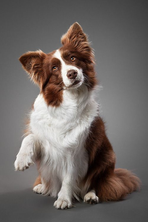 Do You Think Your Dog Is A Good Judge Of Character Collie Puppies Border Collie Puppies Dog Breeds