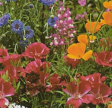 Wildflower Seeds Partial Shade - 2.5 grams