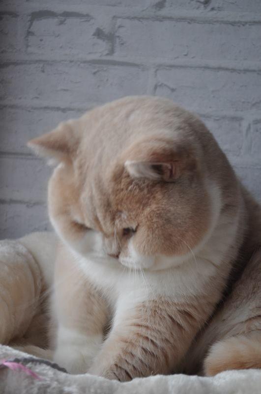 gato bochechudo