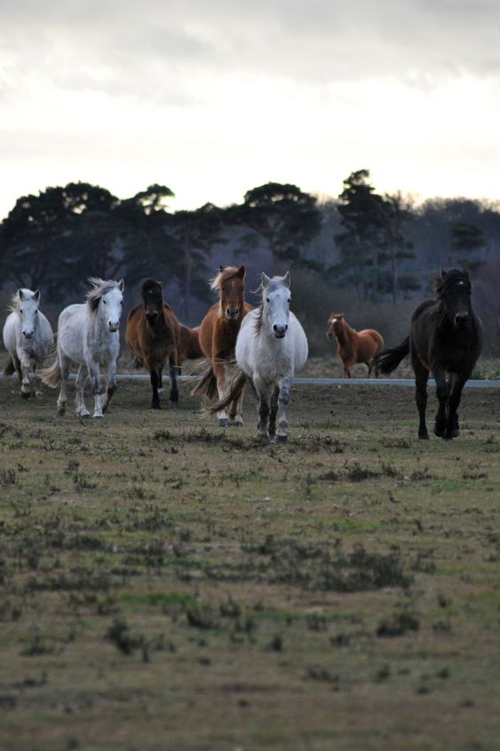 Wilde pony's, New Forest, Engeland. Deze dieren behoren tot de hogere beschermingscategorie van bedreigde soorten.