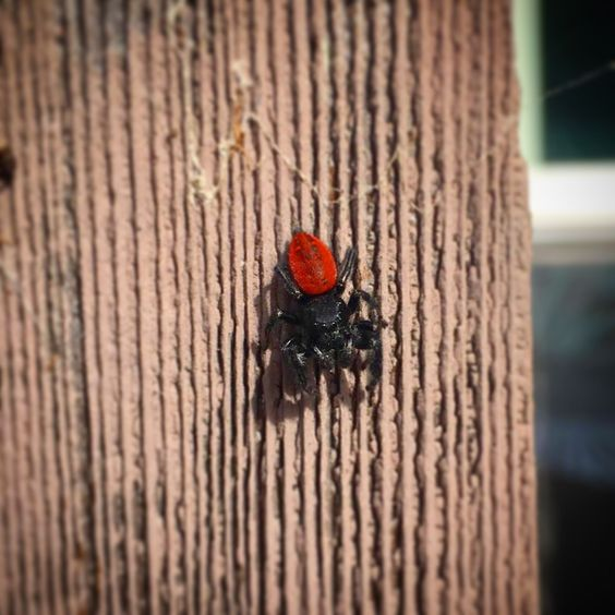 Met this cutie on my fence. They were watching me water my plants! AS: Jumping spiders are very curious its so cute! this is a Male Phidippus Johnsoni! great picture!