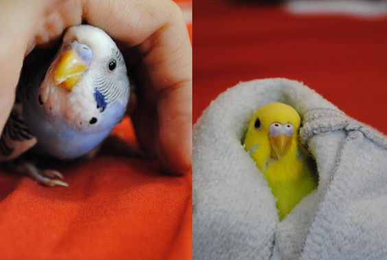 Meet Poki (left) and Leelo (right)  They were quite nervous for being outside the cage so I wrapped them like babies lol