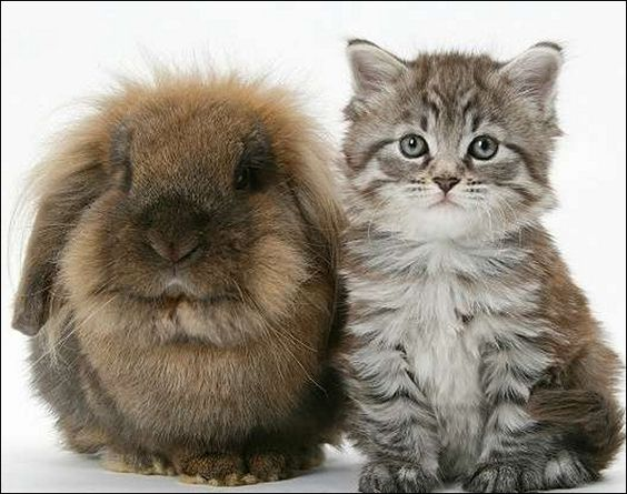9 Images Of Maine Coon Kittens For Adoption - 9 Cats & Kittens Pet ...