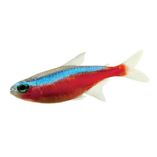 Australia S Largest Range Of Premium Live Aquarium Fish Shrimp Snails Aquarium Plants At Perfect Prices Order Online Live Aquarium Fish Aquarium Fish Fish