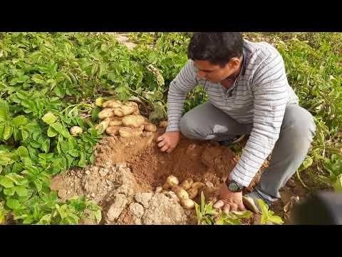 تقليع بطاطس السعودية شوف أنتاج نبات واحد اد ايه سبونتا هولندي Hzpc Youtube Information Center Pax Blessed