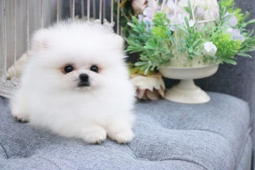 Pomeranian Puppy For Sale In San Jose Ca Adn 71459 On