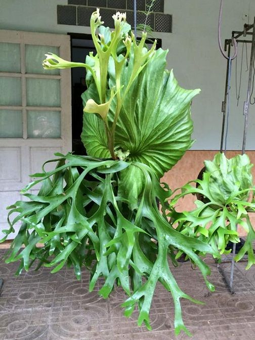"Platycerium ""Mt.Kitshakood""(P.ridleyi x P.coronarium)"