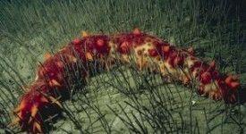 Zeekomkommer doodt vrijwel alle kankercellen