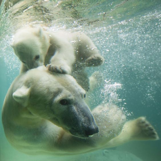 Polar bear Anori - half sister to Knut - plays underwater with her mother Vilma at Wuppertal Zoo, Germany