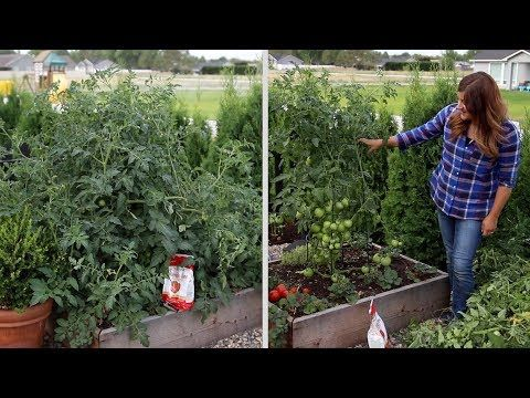 Pruning An Overgrown Tomato Plant Garden Answer
