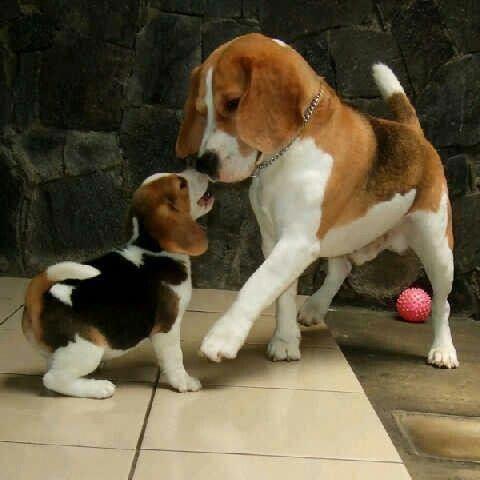 The Mini Me Cute Beagle Duo Do You Love Cute Dogs Like