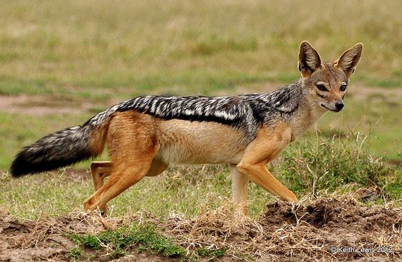 Black-Backed Jackal (Silver-Backed Jackal, Red Jackal) - Canis mesomelas - Living in two areas of Africa, this jackal of the family Canidae is the oldest extant member of the genus Canis, according to the fossil record. The two areas where the jackals live are separated by about 559 miles (900 km) - 1) South Africa, Botswana & Zimbabwe - 2) Kenya, Somalia, Djibouti & Ethiopia - Image : © Keith Lewis / 2012