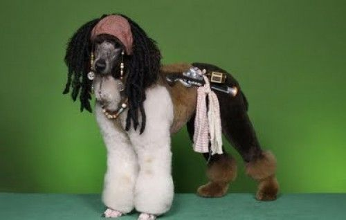 Captain Jack Sparrow - Yarrr Matey!: Standard Poodles, Grooming Ideas, Captain Jack Sparrow, Poodle Cut, Extreme Poodle, Grooming Dogs, Poodle Haircut, Dog Haircuts