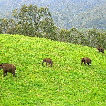 Wild elephants in Munnar, Kerala, Incredible India