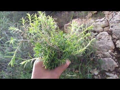 طريقة سهلة لزراعة الزعتر البري في المنزل والفوائد الصحية والغذائية التي يتمتع بها Youtube Plants Herbs Dill