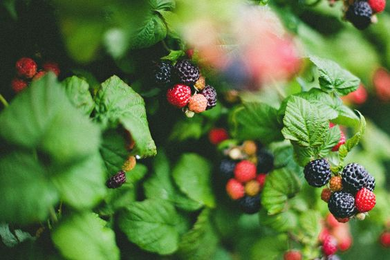 Black raspberries and no words. | Central Indiana Life Photographer
