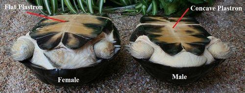 Male Vs Female Turtle Plastron Pets Turtle Habitat Slider Turtle