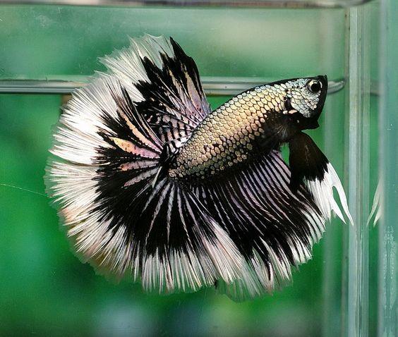 Copper dragon butterfly fancy bettas pinterest for Butterfly betta fish