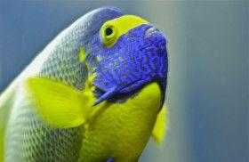 Blue beard; Adventure Aquarium; Camden, New Jersey, USA.  March 2013.