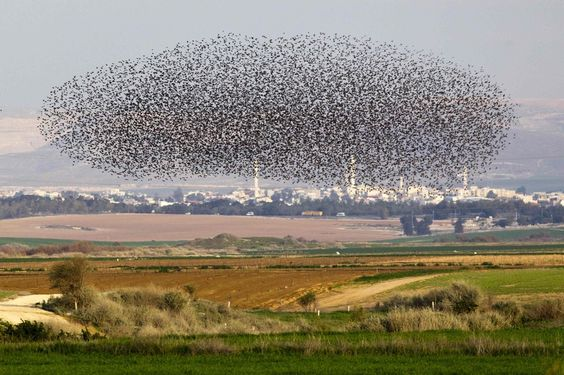 inothernews:    A flock of starlings flew over a field near Netivot, Israel, and they pooped all over everything.