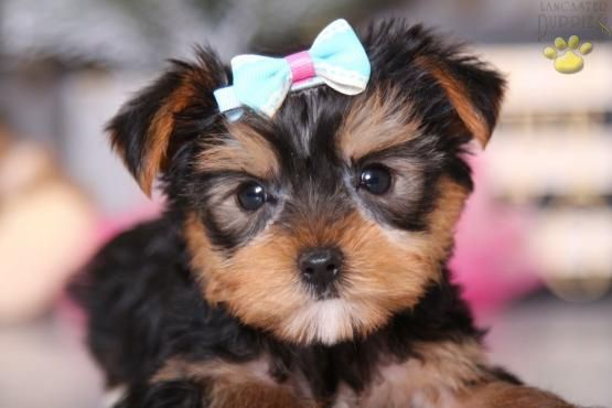 Yorkshireterrier Yorkshire Yorkie Yorkshireterrierlove Yorkshireterrierpuppies Yorkshireterr Yorkshire Terrier Puppies Yorkshire Terrier Puppies For Sale