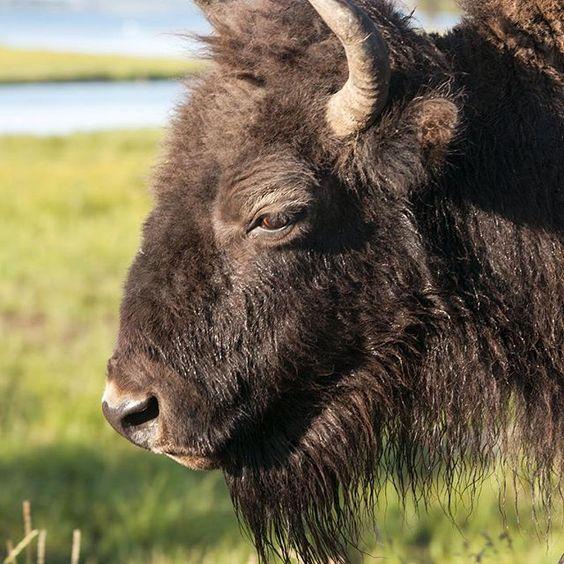 Photo by @erickruszewski: An American bison roams around #YellowstoneNationalPark in #Wyoming.