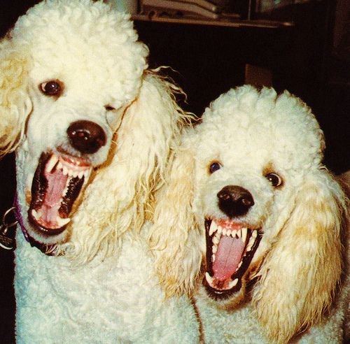 attack of the lethal poodles