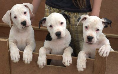 American Bulldog puppies, tell me; do they look like they'll rip someone's face off?