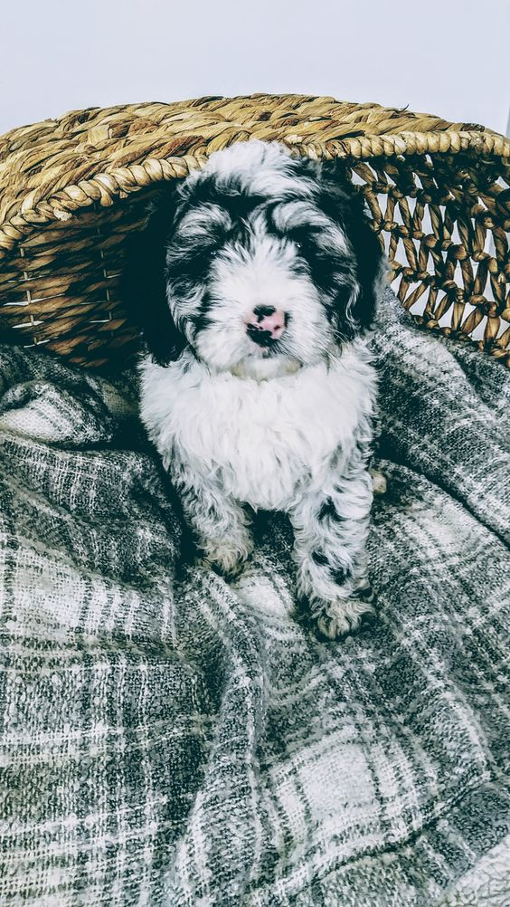 Diesel A Male Mini Sheepadoodle Puppy For Sale In Sugarcreek