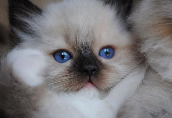 Available Ragdoll Kittens Ragdolls kittens for sale