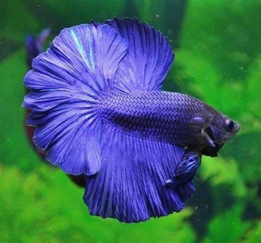 1391158339_595766969_7-Betta-Fighter-For-Sale-a-reasonable-price-Call-For-Info-India.jpg (516×480)