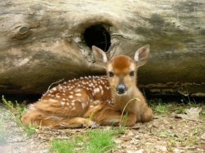 An adorable fawn seems to pose for the camera at Sequoyah State Park in northeast Oklahoma.