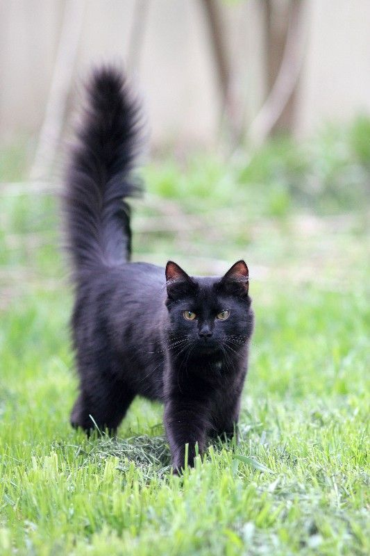 That Tail Is Like A Fluffy Black Beacon Long Haired Cats Long