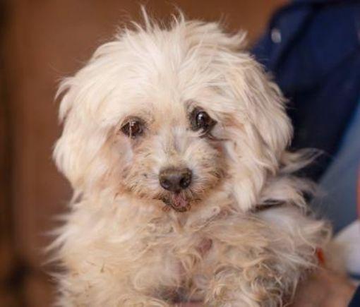 Colorado Springs Co Maltese Meet Melody A Pet For Adoption Pet Adoption Adoption Pets