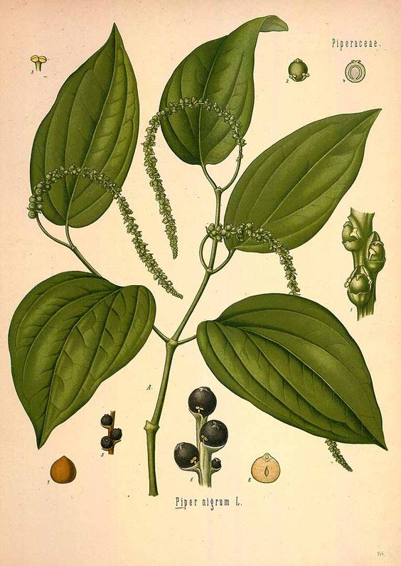 1000+ images about Botanical Illustrations on Pinterest ...