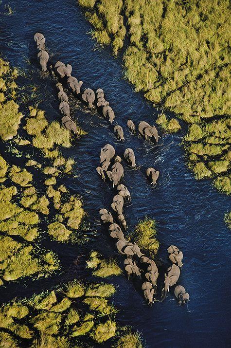 Elephants. Abu Camp. Okavango Delta, Botswana.