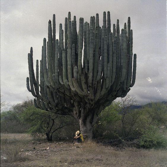 Cactus cardón: