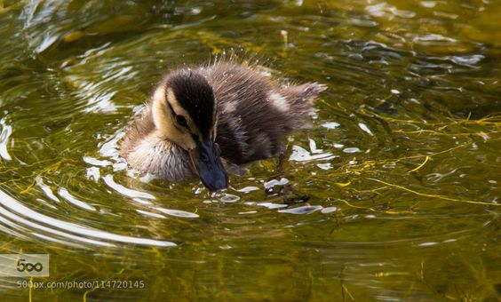 Duck by silkehamburg. Please Like http://fb.me/go4photos and Follow @go4fotos Thank You. :-)