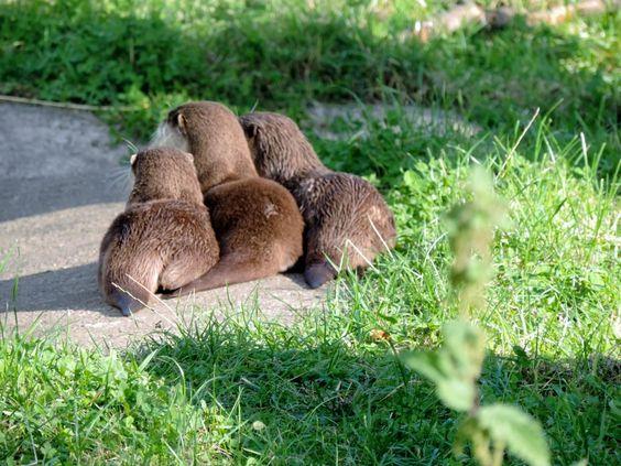 Otters, Camperdown Wildlife Park