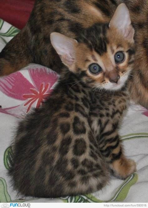 Lovely Bengal Kitty