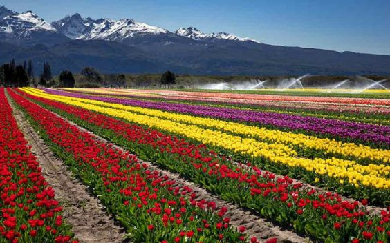 Trevelin is a tulip city in Argentina