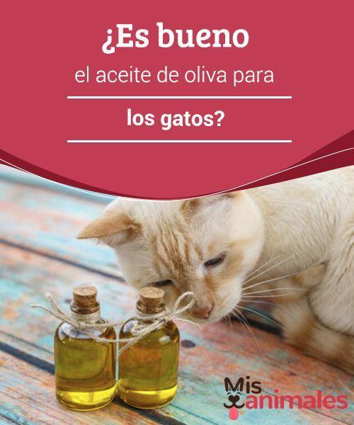 Es Bueno El Aceite De Oliva Para Los Gatos Mis Animales Gatos Consejos Para Mascotas Animal Doméstico