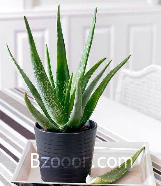 بذور نبات الألوفيرا Aloe Vera نبتة الخلود Household Plants Aloe Plant Plants